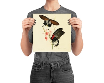Butterfly Poster Black Swallow Tail, 10 inch Square Matte Finish, Natural History Print, Room Decor
