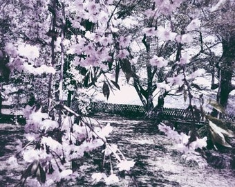 White Blossoms -Abstract Photograph, Tree, Flower, Cherry Blossom, Floral Print, Beautiful Picture, Black White, Garden, Japanese, Nakasendo