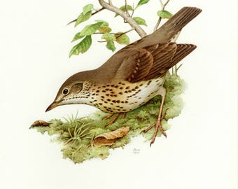 Vintage lithograph of the song thrush from 1957