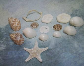 Starfish, Sea Urchins - Mixed mini lot of Shells -