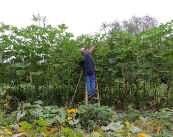 25 World's Tallest Tree Okra Seeds-1309