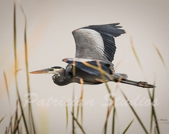 "Great Blue Heron in Flight: ""Cruising"" (C400)"