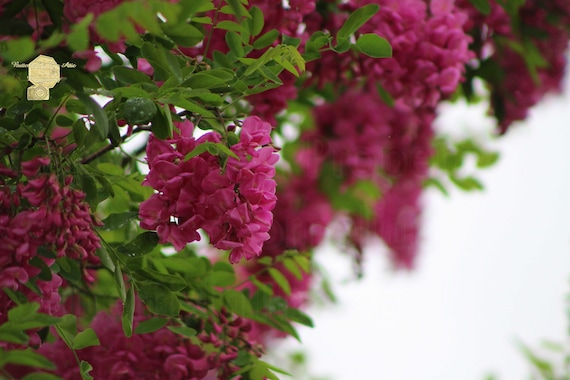 Nature Photography, Amaranth Colored Locust Tree Blossoms as it Gently Rains in West Jordan Utah, Tranquil Home Decoration