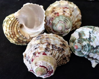 Silver mouth turbo Seashell (2) multi-color natural shell