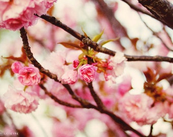 Spring, Pink Blossoms, Nature, Photography,