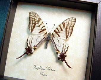 Real Framed Elegant White Graphium Alebion Swallowtail Butterfly 166