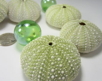 Beach Decor Urchin Seashells - Nautical Decor Green Sea Urchins, Bumpy - 2pc