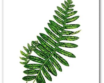 Fern Print, Green Fern Art, Botanical Fern Art, Alpine Polypody Art, Botanical Plant Decor, 8 x 10 inches, Unframed