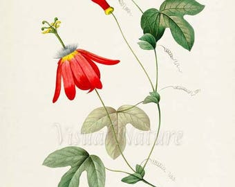 Red Passion Flower Art Print, Botanical Art Print, Flower Wall Art, Flower Print, Floral Vine, Redoute, red,green, Passiflora racemosa