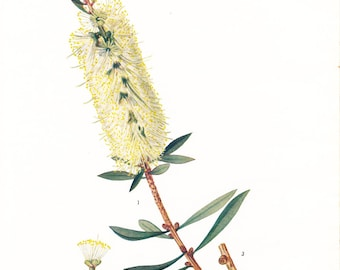 1923 Botany Print - Callistemon Salignus Viridiflorus - Willow Bottlebrush - Vintage Antique Flower Art Illustration Book Plate for Framing