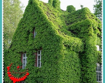 Hot!!!Your House Interesting 80++ Creeper Seed Parthenocissus Tricuspidata Grass Seed Beautiful Decro