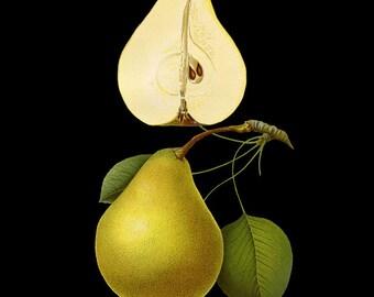 Botanical Print with Black Background - Pear Print - Fruit Print Poster - Yellow Wall Art Home Decor #vi773