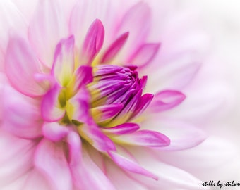 Dahlia photography,romantic flower print,pink shabby chic art,dahlia in bloom,pink nature photo,pink and white dahlia blossom,gift for her.
