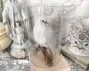 Beautiful white Vintage dove/Beautiful white Dove vintage Taxidermy