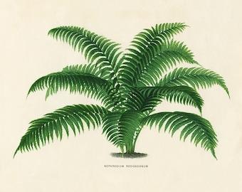 Vintage Fern Art, Vintage Fern Print, Fern Print, Vintage Fern Botanical Print, Horizontal Fern Print, 1800s Home Decor Antique Illustration