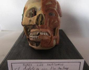 taxidermy cabinet of curiosity skull taxidermy wax anatomical wax