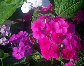 Phlox flower, mixed colors 40+ seeds, heirloom