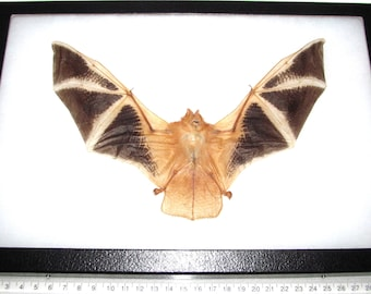 REAL framed red orange fire bat Kerivoula picta wings spread 12in x 8in frame!