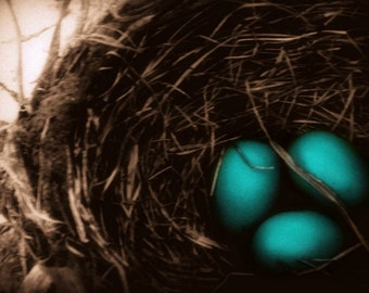Nature Photography robins nest,robin eggs,spring,robin,bird,gifts under 25,blue,shabby chic,turquoise,bird nest with eggs,robins egg blue