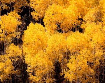 Aspen trees fall, fall tree photo, aspen tree decor, Colorado art, rustic wall decor, log cabin art, fall leaves photo | Colorado's Best
