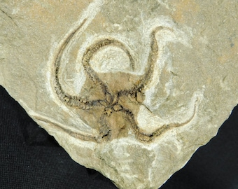 A Big! 440 Million Year Old 100% Natural STARFISH Fossil From Morocco! 1330gr