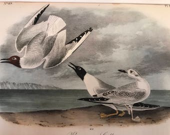Vintage Audubon Lithograph Bonapartes Gull handcolored J. T. Bowen, Philadelphia 1840-1844