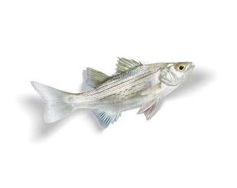 White Bass Decal, White Bass Sticker, White Bass