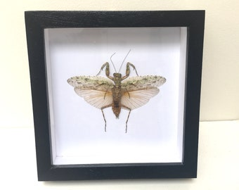Praying Mantis /Insect/Taxidermy
