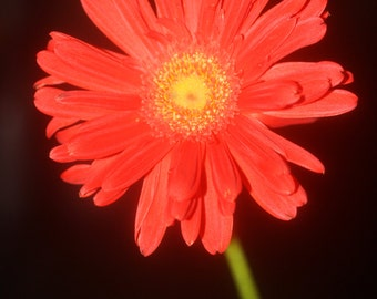 Red daisy flower photograph or canvas print, 5x7, 8x10, 11x14, 16x20