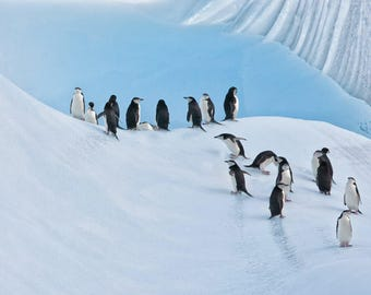 Group of Chinstrap penguins on a iceberg