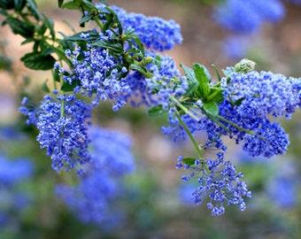 Something Blue - Flower Photo Print - Size 8x10, 5x7, or 4x6