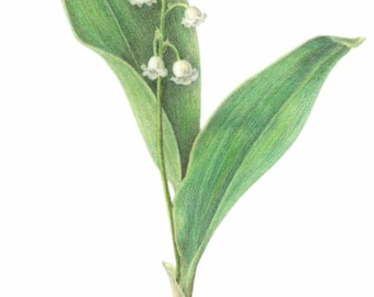 """Lily of the Valley - unframed botanical art print - colored pencil drawing - 11"""" x 14"""" paper  - cottage decor - wall art - spring flower"""