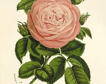 Rose art Vintage flower art  print antique wall decor Flower decor botanical prints Garden print Victorian art French decor Cottage wall art