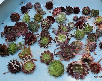 25 Sempervivum chicks Assorted 25 different cultivars -Rosette Succulents Plants for wine corks favors