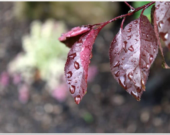 Spring Rain on Sandcherry