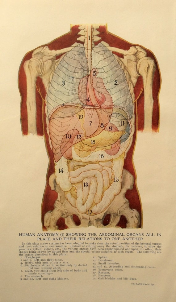 Vintage 1920s impresión anatomía humana ilustración disección