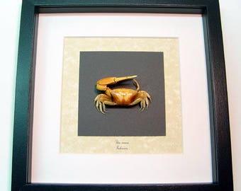 Real Framed Museum Collection Uca Vocans Fiddler Crab S1513