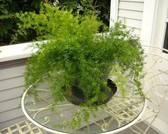 Asparagus Fern 'Sprengeri' Seeds (Asparagus densiflorus 'Sprengeri')