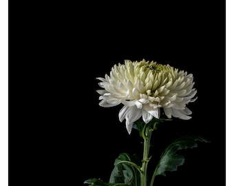 White Chrysanthemum Photographic Art Print, Wall Art, Photo Print, Botanical Decor Print, Fine Interior Decorating Image by Don Urban