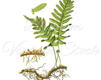Fern Botanical Print, Vintage Wall decor, Botanical Fern PNG Digital Antique Illustration  INSTANT DOWNLOAD - 1463