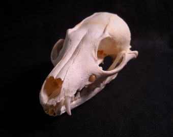 Real Bone Animal Skull Grey Fox Taxidermy Bones