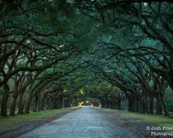 Wormsloe Plantation Photograph, Oak Trees, Spanish Moss, Savannah, Georgia, Landscape Photography, Wormsloe Historic Site, Oak Avenue, Print