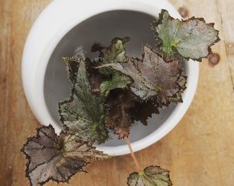 Begonia Silver Oak Leaf Rex Plug (1)