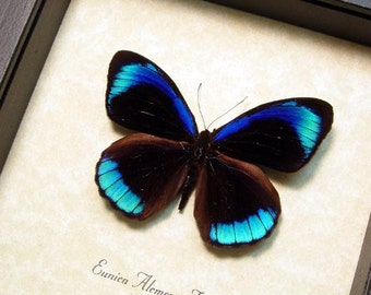 Real Framed Eunica Alcmena Flora Butterfly Shadowbox Display 811