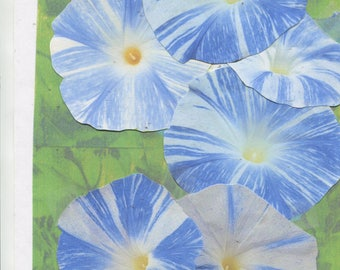 25 - Blue Flying Saucer - morning glory seeds - ready for 2018 planting -crisp blue & white color- check out the free seeds ...