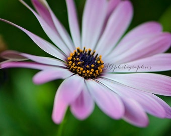 Purple flower - purple gazania - fine art Print