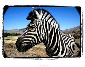 Zebra Close up with Field and Sky in Back Ground Fine Art Print