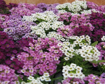 100 Seeds Alyssum Cheers Blues Mix Ground Cover