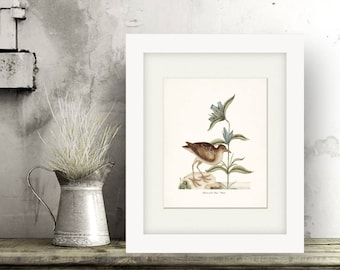 Coastal Decor Sea Bird Natural History Art Print - Plover 8x10