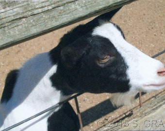 ACEO SFA Zoo Goat art photograph farm animal photo nature nitelvr